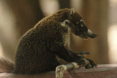 White-nosed coati. Thirsty in palo verde national park in costa rica Stock Photo