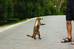 White-Nosed coati animal and tourist man. Mexico stock images
