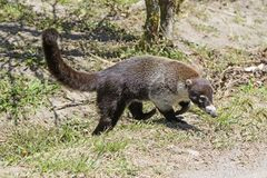 White Nosed Coati coming out of the Forest. In Costa Rica Royalty Free Stock Photography