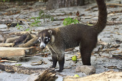 White-Nosed Coati on Costa Rican Beach Royalty Free Stock Photos