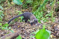 White-nosed coati foraging  in Monteverde, Costa Rica. White-nosed coati Nasua narica, also known as the coatimundi, looking for something eatable on the ground Royalty Free Stock Image