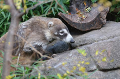 White Nosed Coati Stock Image