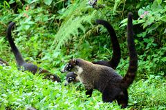 White Nosed Coati Group Stock Images