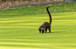 White-Nosed Coati. A white-nosed Coati, or locally known as a Pizote, digs looking for worms Royalty Free Stock Photography