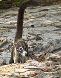 White-Nosed Coati with Long Tail Royalty Free Stock Photography