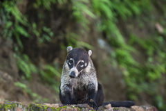 White nosed coati. Male white nosed coati sits on a rock wall Stock Photos
