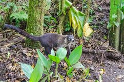 White-nosed coati coming out of the forest  in Monteverde, Costa. White-nosed coati Nasua narica, also known as the coatimundi,coming out of the moist forest in Royalty Free Stock Photography