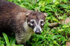 White-nosed coati (Nasua narica) Royalty Free Stock Photography