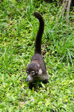 White-nosed coati (Nasua narica) Stock Photo