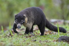 White-nosed Coati - Nasua narica. Small common white nosed carnivore from Costa Rica forest Royalty Free Stock Photos