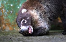 White-nosed coati Nasua narica stock images