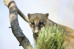 White-nosed Coati, Nasua narica, on the tree Stock Photography