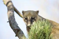 White-nosed Coati, Nasua narica, on the tree Stock Photography