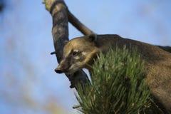 White-nosed Coati, Nasua narica, on the tree Stock Photo