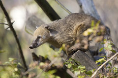 White-nosed Coati, Nasua narica, on the tree Stock Photos