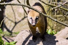 White-nosed Coati, Nasua narica, watching nearby Royalty Free Stock Photos