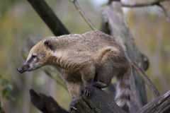 White-nosed Coati, Nasua narica, watching nearby Stock Photo