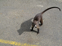 White Nosed Coati on a street in Costa Rica. Central America Stock Images