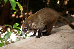 White-nosed Coati Stock Photography