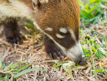 White-nosed coati in the wild, Yucatan, Mexico Stock Photos
