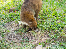 White-nosed coati in the wild, Yucatan, Mexico Royalty Free Stock Photos