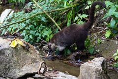 White-nosed coati -Nasua narica. White nosed coati with a wound in his head near La Paz waterfall in Costa Rica. The would has been treated by a local Royalty Free Stock Images