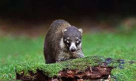 A White-nosed coatimundi in Costa Rica Royalty Free Stock Images