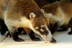 White Nosed Coatis eating nuts against a green background in Tulum,Mexico. Royalty Free Stock Image