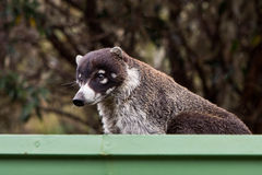 White-nosed goati animal in a gutter Stock Photos