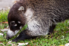 White-nosed goati animal searching for food Royalty Free Stock Photo