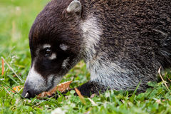 White-nosed goati animal searching for food Stock Photo