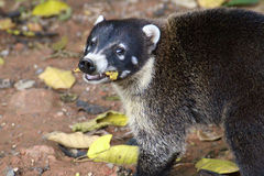 White-nosedCoati Mundi, facing stock photo