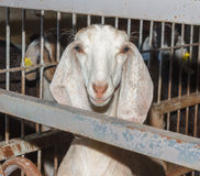 White Nubian goat Stock Photo