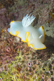 White Nudibranch Royalty Free Stock Photo