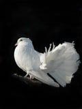 white nurkujący Obraz Stock