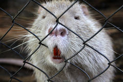 White nutria Stock Photos