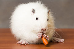White nutria eats a carrot Stock Photo