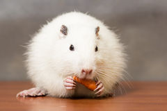 White nutria eats a carrot Royalty Free Stock Photo