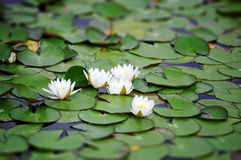 White Nymphaea alba Royalty Free Stock Photos
