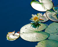 White Nymphaea alba among leaf. White waterlily Nymphaea albaamong leaf stock images