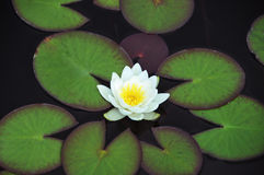 White Nymphaea alba. Surrounded by leaves Stock Photography