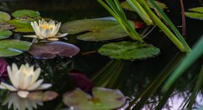 Free White Nymphaea Or Water Lily With Yellow Heart Flowers And Green Leafs In Water With Tranquil Reflection In Garden Pond, Close-up Stock Image - 150933421