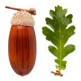 White oak acorn Royalty Free Stock Photos