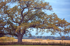 A White Oak in Autumn Royalty Free Stock Images