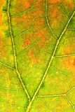 White Oak Leaf. Photograph of a white oak in fall colors Stock Photography