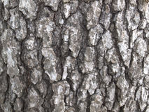 White Oak Tree Bark. From a large tree stock images