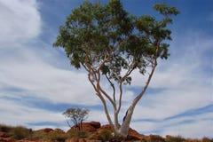 White oak tree Royalty Free Stock Images