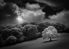 White Oak tree in field, captured in infrared black and white stock images