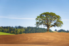 White Oak tree stands alone in plowed field Stock Images