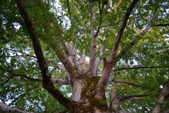 White oak tree. View of the white oak tree at the trunk stock image